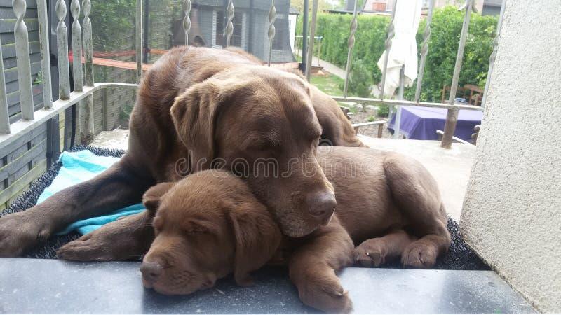 Cani di sonno immagine stock libera da diritti