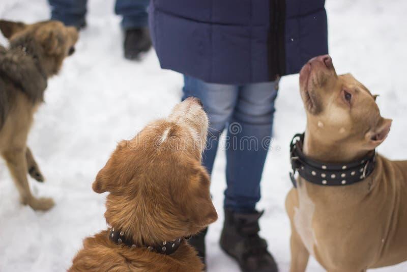 cani domestici che chiedono l'alimento nell'inverno fotografie stock libere da diritti