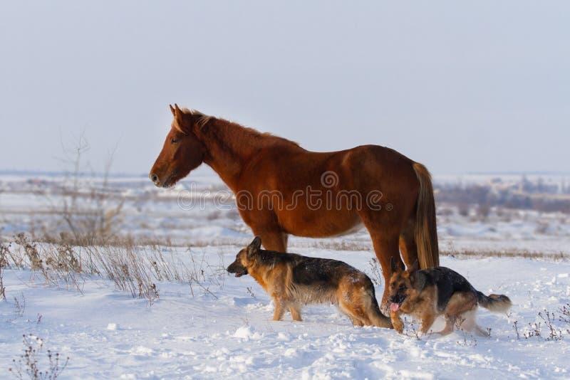 Cani e cavallo insieme in neve immagine stock libera da diritti