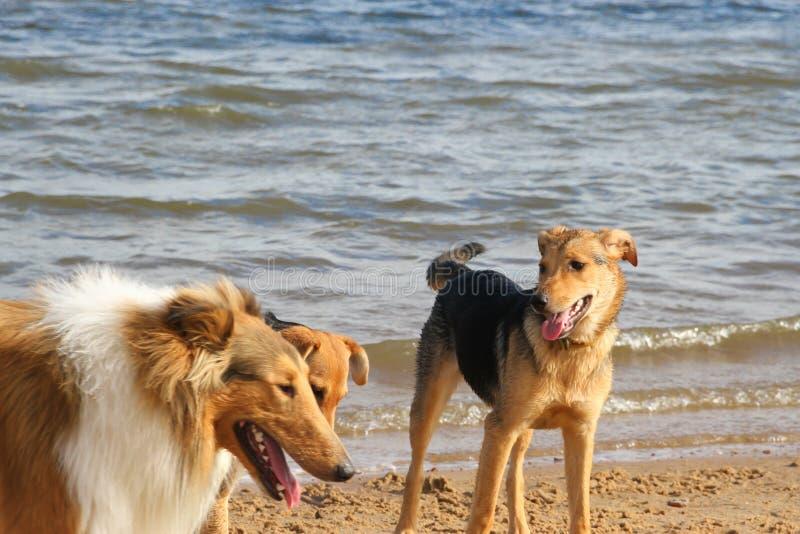 Cani felici che giocano nella sabbia sull'animale domestico della spiaggia amichevole fotografie stock
