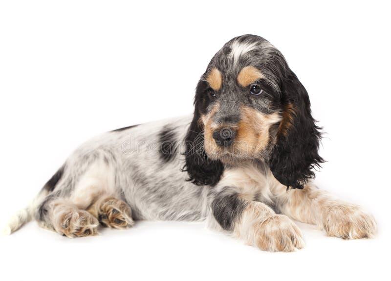 Cani inglesi dello Spaniel di Cocker della famiglia fotografia stock