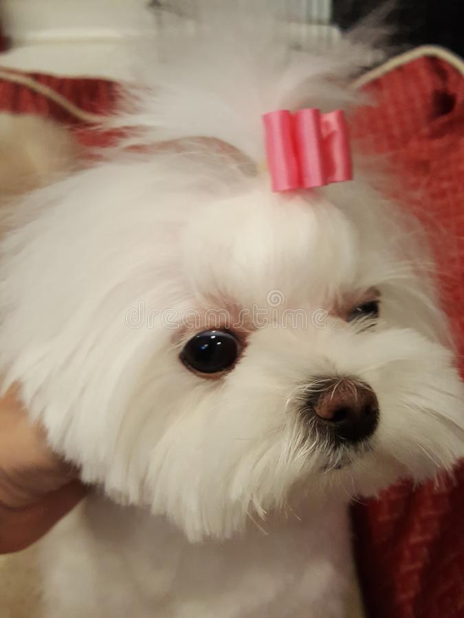 Cani maltesi immagini stock libere da diritti