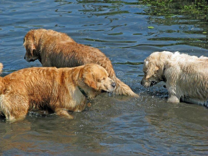 Cani nel divertimento dell'acqua fotografia stock