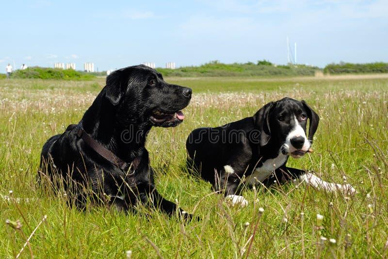 Cani nell'erba fotografie stock libere da diritti