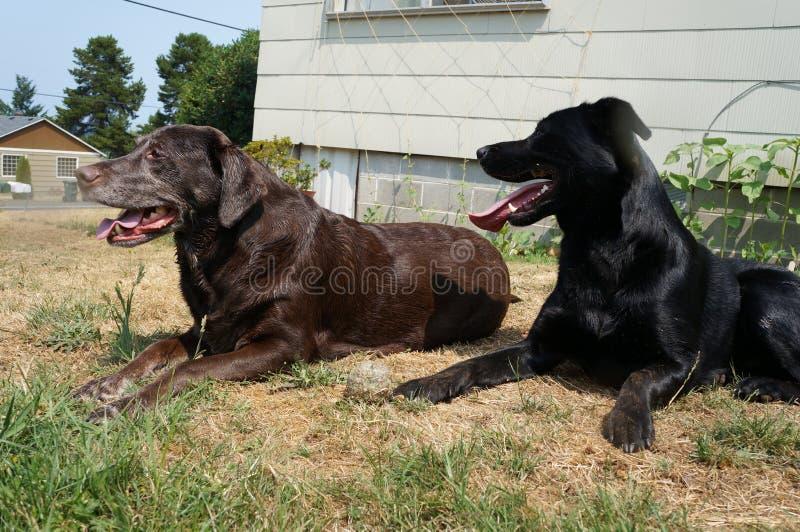 Cani neri e marroni fotografie stock