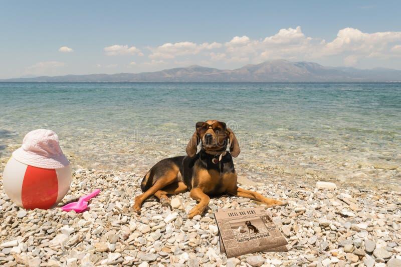Cani permessi sulla spiaggia Un ritratto di sguardo divertente con gli occhiali da sole d'uso di un cane che leggono le notizie fotografia stock libera da diritti