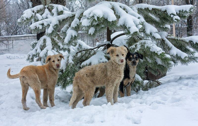 Cani randagi nella neve fotografia stock libera da diritti