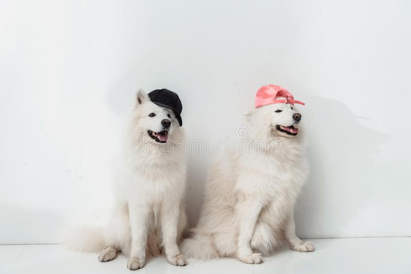 Cani samoiedi in cappucci immagini stock