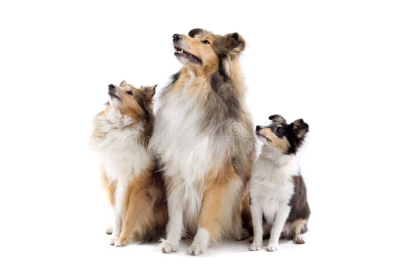 Cani scozzesi del collie fotografia stock