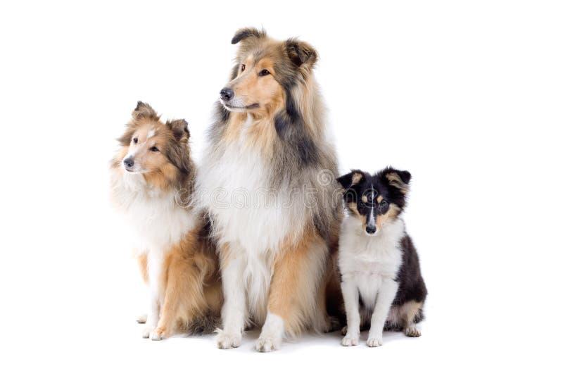 Cani scozzesi del collie immagini stock libere da diritti