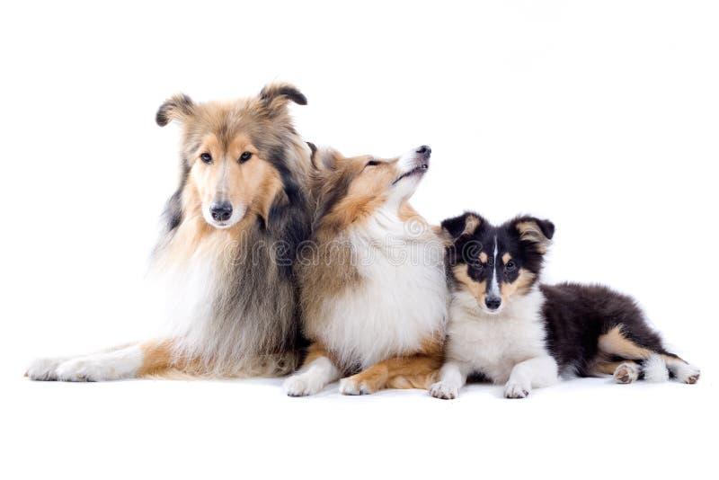 Cani scozzesi del collie immagine stock libera da diritti