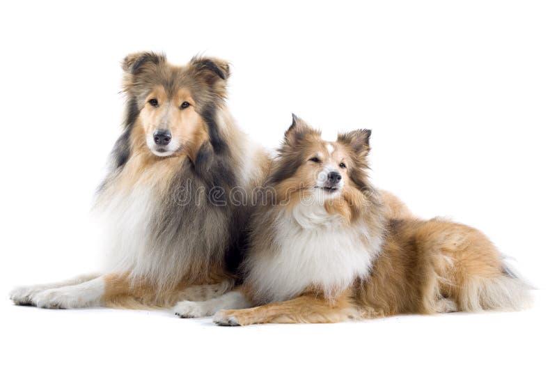 Cani scozzesi del collie fotografie stock libere da diritti