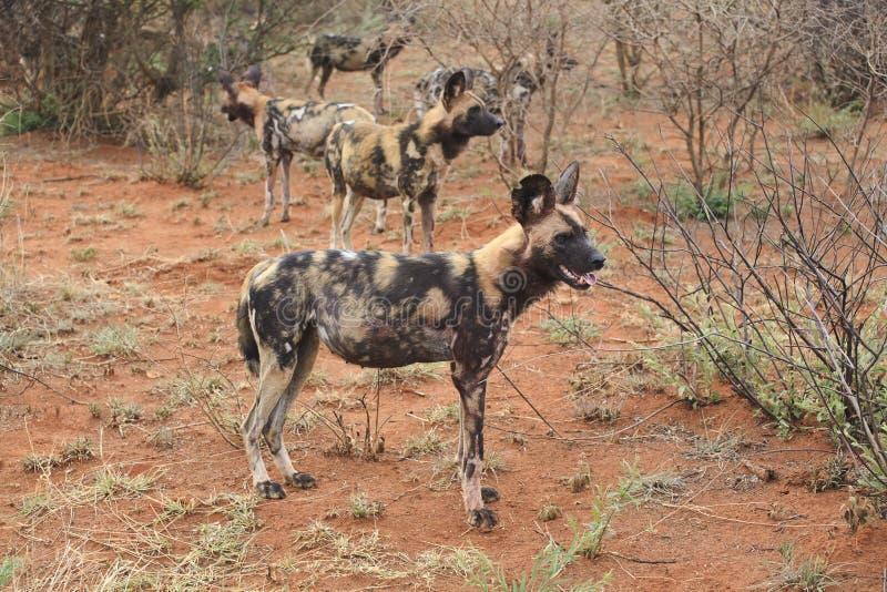 Cani Selvaggi Immagine Stock Libera da Diritti