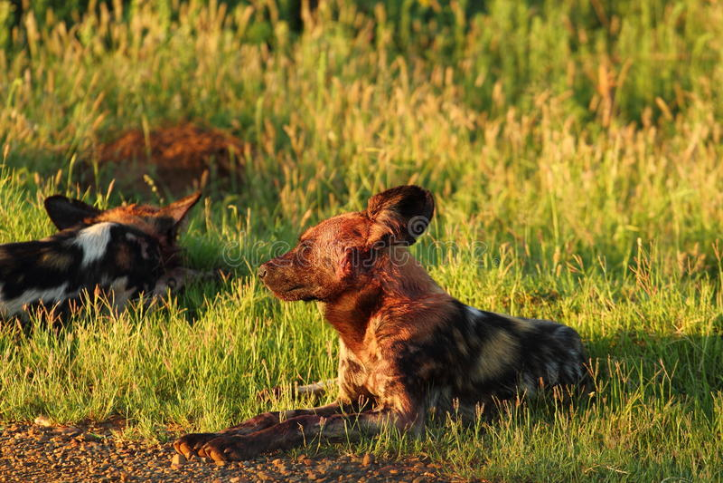 Cani Selvaggi Immagine Stock