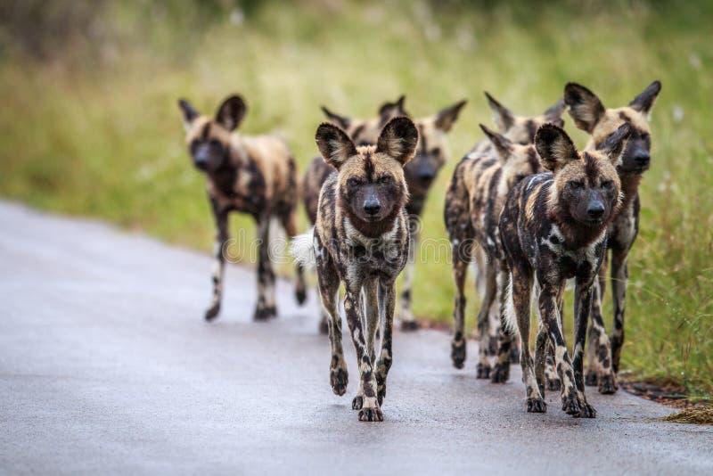 Cani selvaggi africani che camminano verso la macchina fotografica fotografia stock libera da diritti