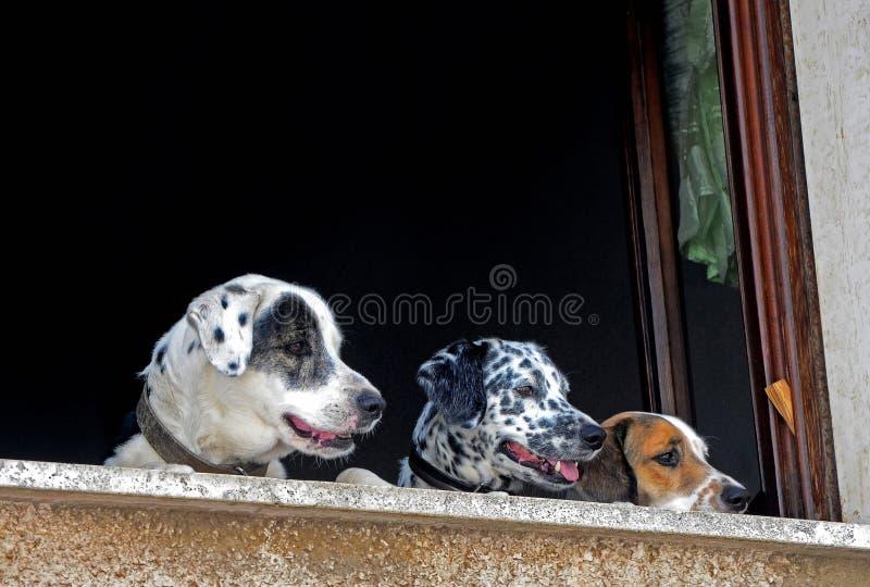Cani su due gambe alla finestra immagine stock