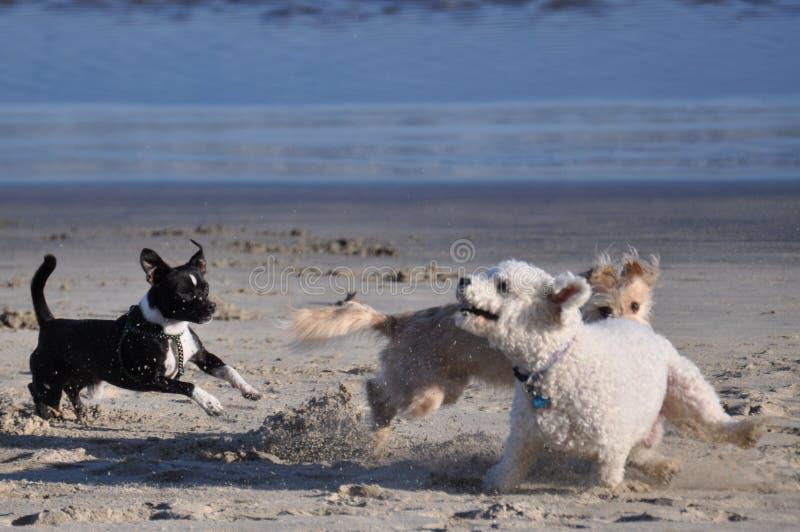 Cani sulla spiaggia fotografia stock