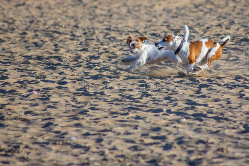 Cani sulla spiaggia con il proprietario, sempre più sono spiagge che acconsentono a portare ai loro 4 l'amico fornito di gambe ci fotografie stock libere da diritti