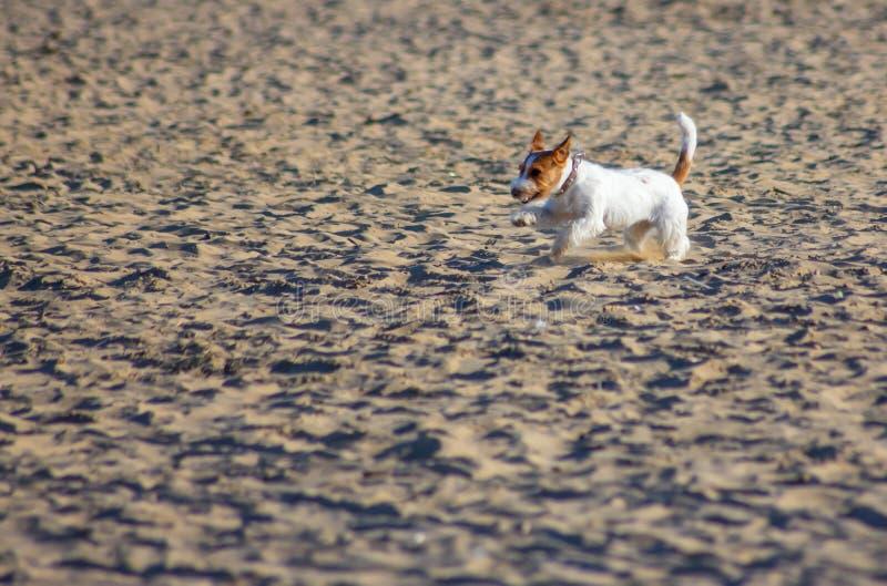Cani sulla spiaggia con il proprietario, sempre più sono spiagge che acconsentono a portare ai loro 4 l'amico fornito di gambe ci immagini stock