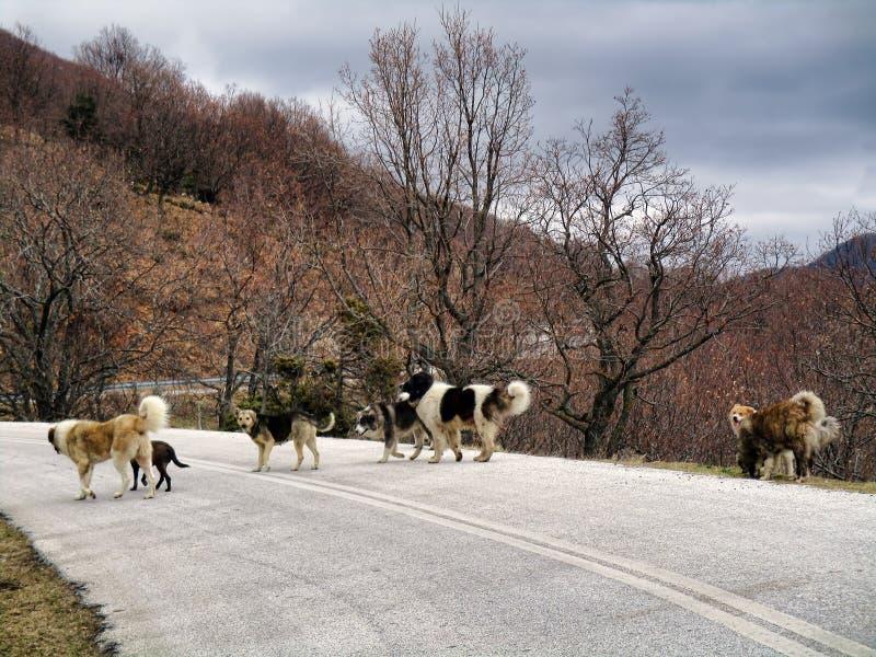 Cani sulla strada fotografia stock