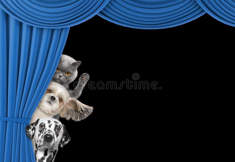 Cani svegli e gatto che si nascondono dietro la tenda immagine stock libera da diritti
