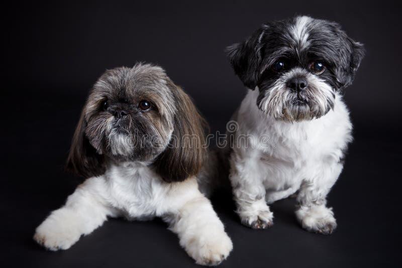 Cani svegli su fondo nero fotografie stock