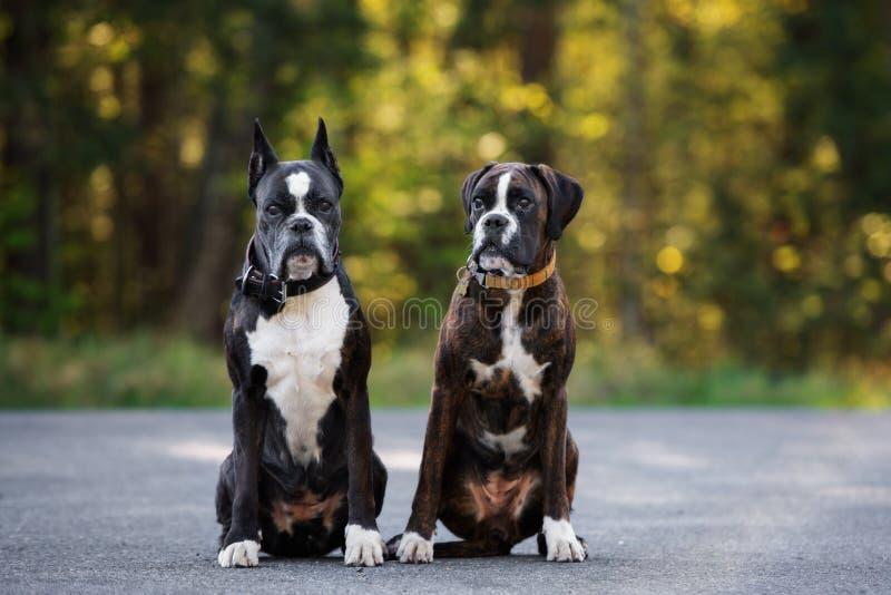 Cani tedeschi del pugile che posano all'aperto di estate fotografie stock