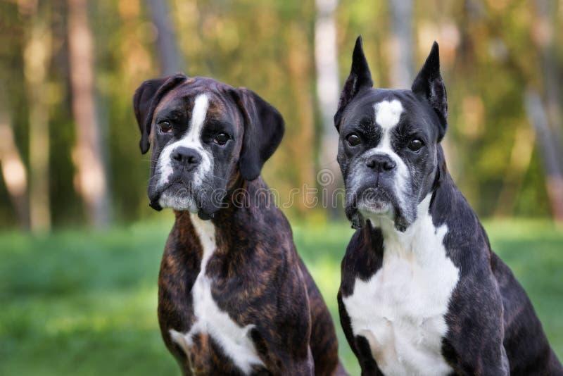 Cani tedeschi del pugile che posano all'aperto di estate fotografia stock