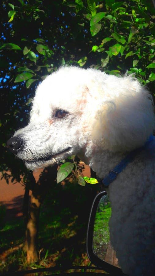Caniche bonita que olha sua rapina com atenção foto de stock