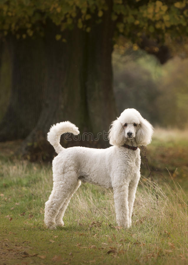 Caniche branca imagens de stock royalty free