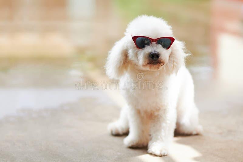 Caniche branca bonita em óculos de sol vermelhos imagem de stock