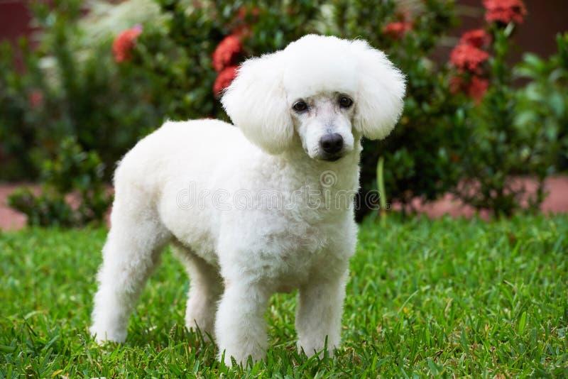Caniche branca ereta bonito fotografia de stock