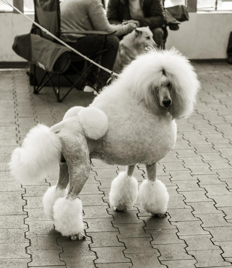 Caniche branca grande de encantamento com corte de cabelo na moda bonito na exposição de cães foto de stock royalty free