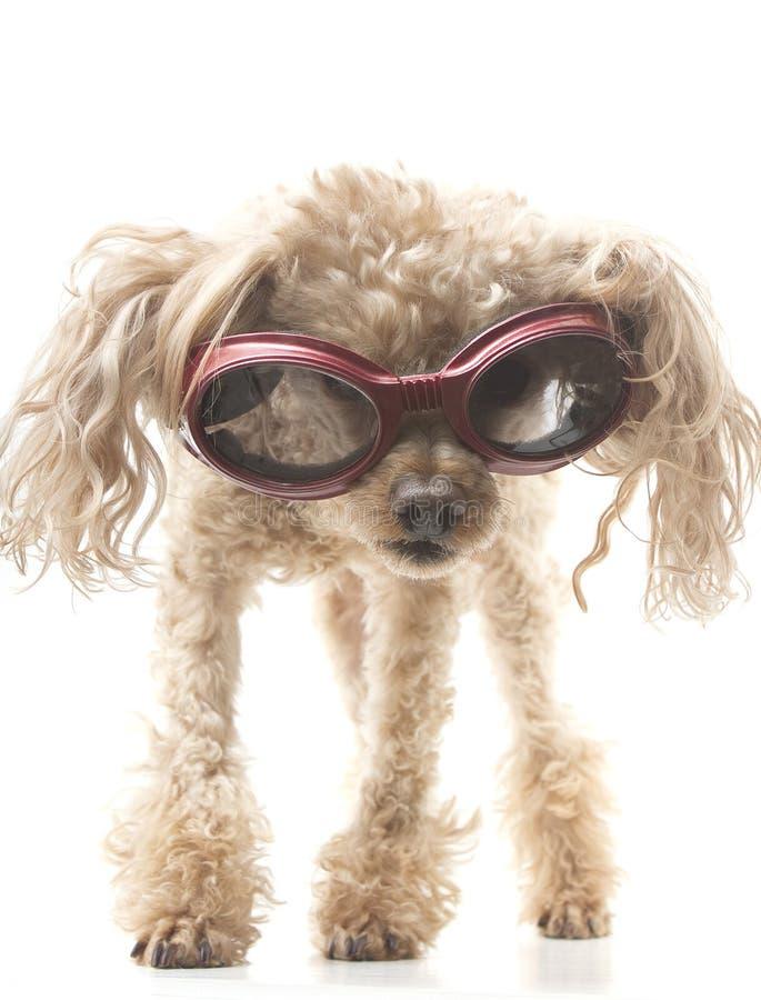 Caniche com óculos de proteção imagens de stock