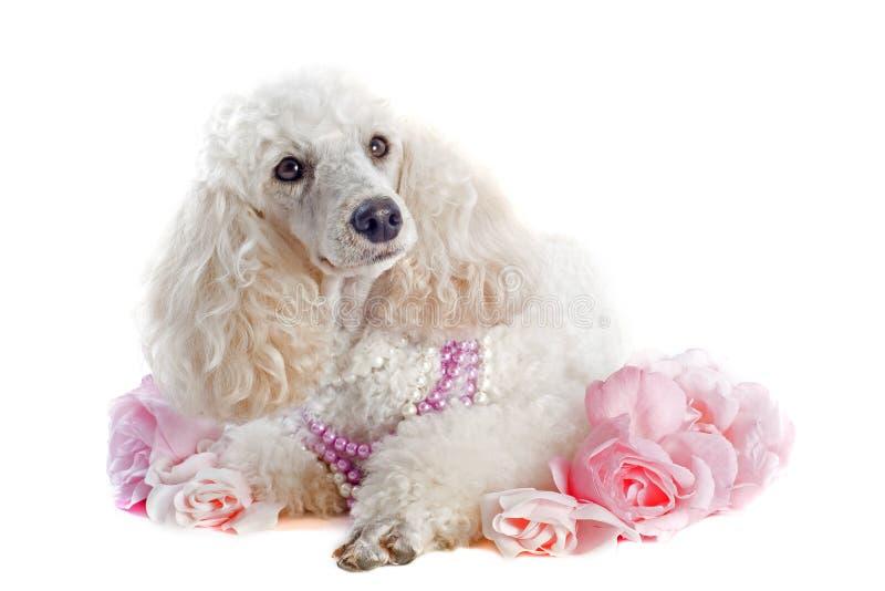 Caniche com rosas fotos de stock royalty free