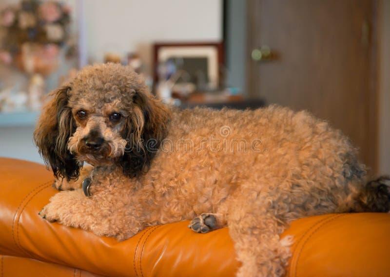 Caniche de Brown que relaxa no sofá fotografia de stock