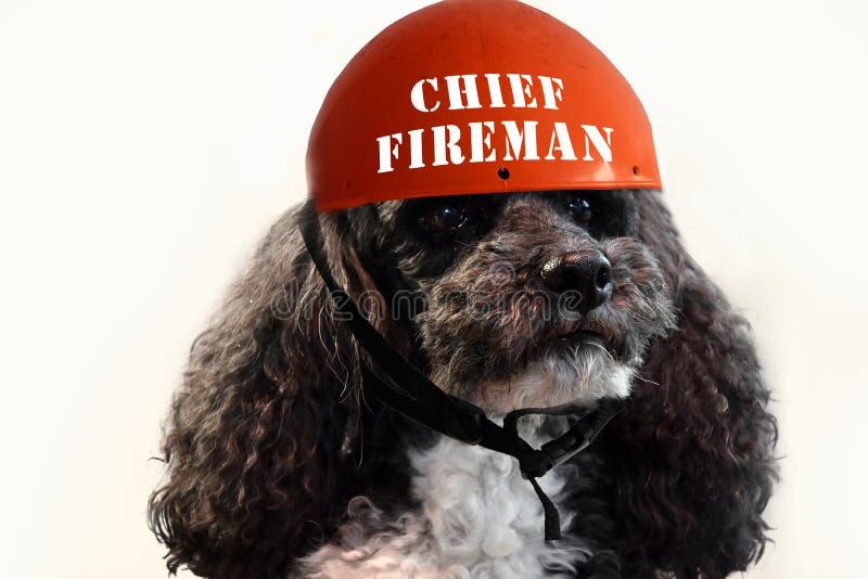 Caniche de harlequin, chef des pompiers image stock
