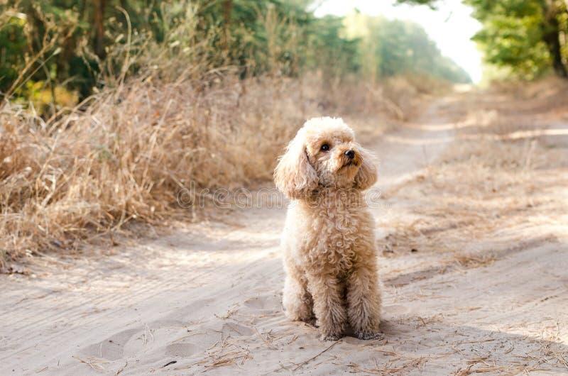 Caniche de juguete que sienta en el camino en el bosque fotos de archivo