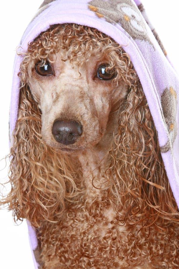 Caniche del albaricoque después de un baño fotografía de archivo