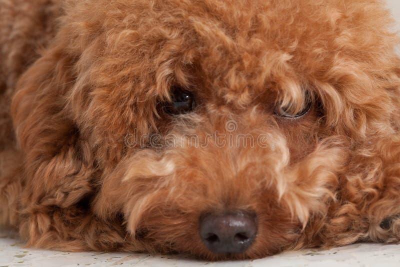 Caniche do brinquedo com uma expressão triste. fotografia de stock royalty free