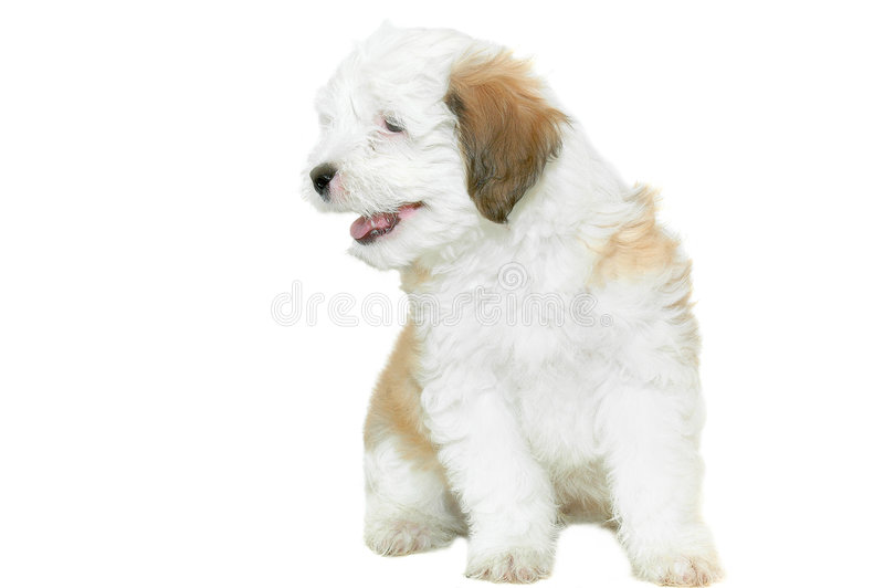 Caniche do filhote de cachorro fotografia de stock royalty free
