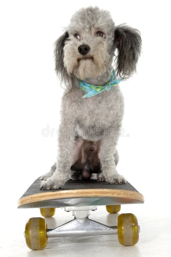 Caniche do skater foto de stock royalty free