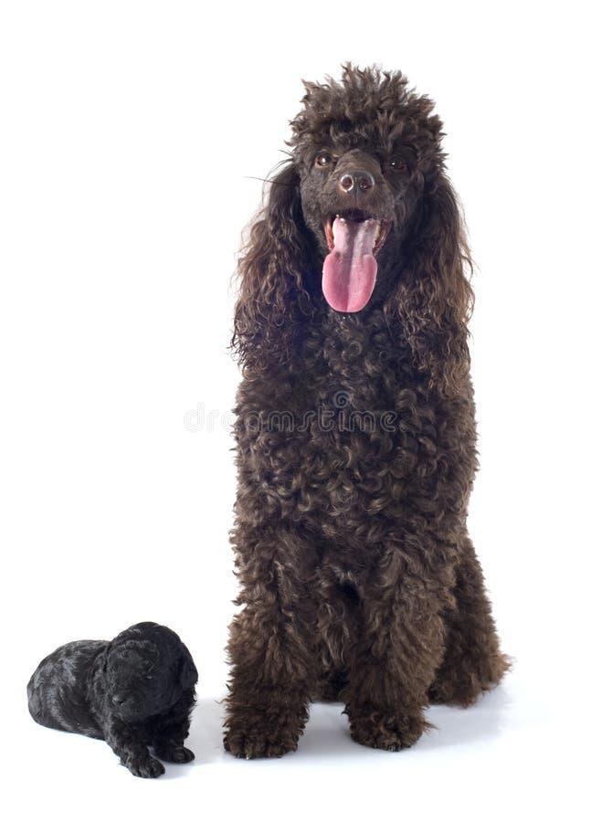 Caniche e adulto do cachorrinho foto de stock royalty free