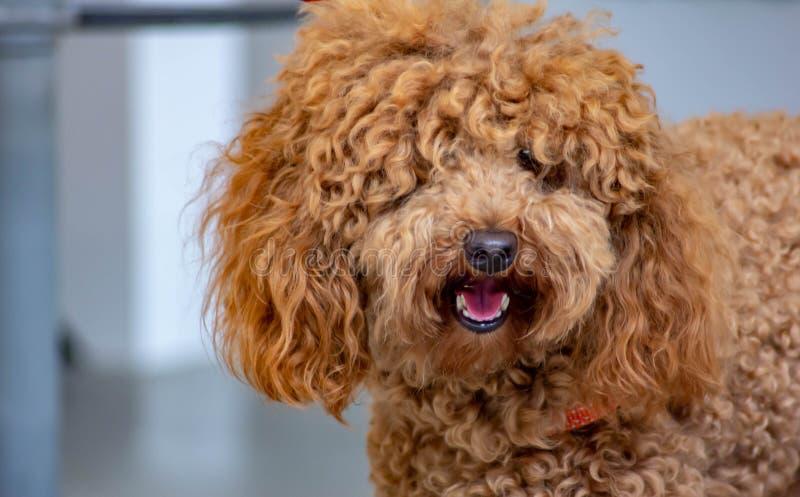 Caniche: el temperamento la clasificación de FCI dice que el carácter del caniche es el de un perro del compañero, colocándolo en imagen de archivo
