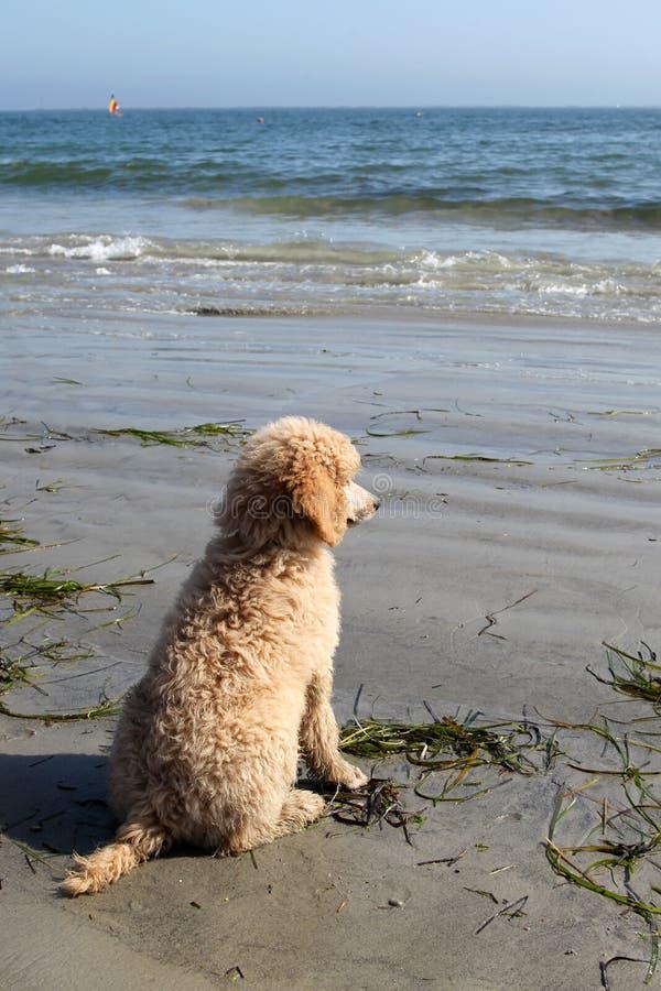 Caniche em uma praia   fotografia de stock