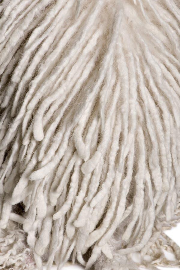 Caniche estándar Corded blanco imagenes de archivo