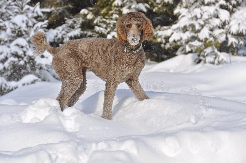 Caniche estándar de Brown que juega en nieve foto de archivo