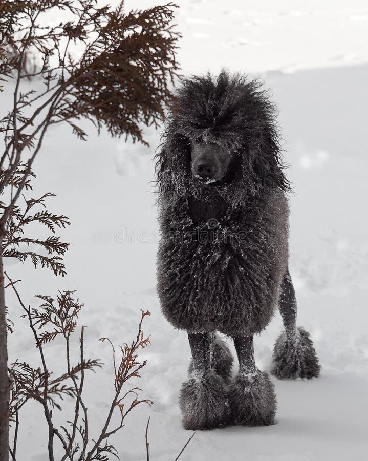 Caniche estándar negro en nieve imágenes de archivo libres de regalías