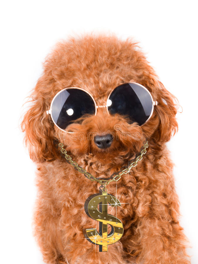 Caniche fresco del perro del gángster con bling en un fondo blanco fotos de archivo libres de regalías