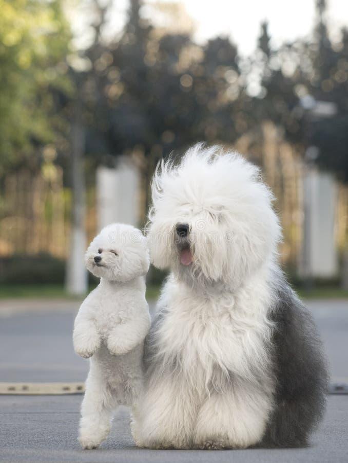 Caniche inglesa velha do Sheepdog imagens de stock royalty free